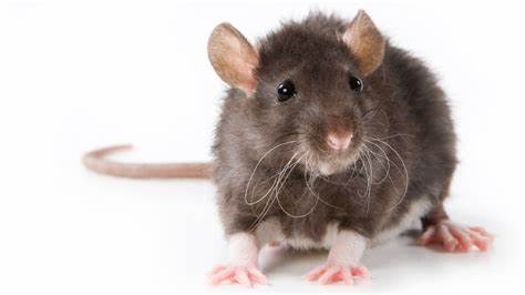 rat image